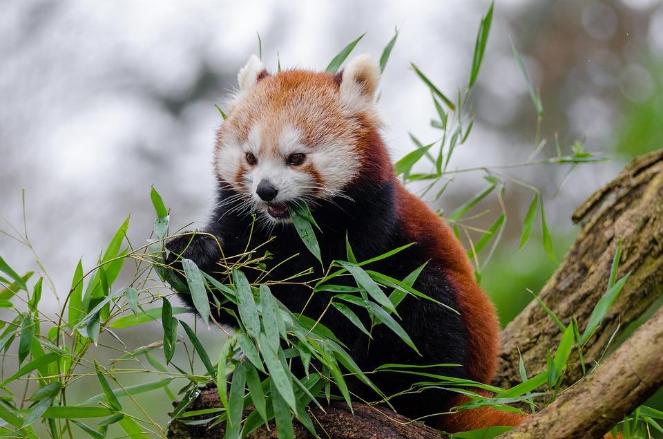 red-panda-1182066_960_720
