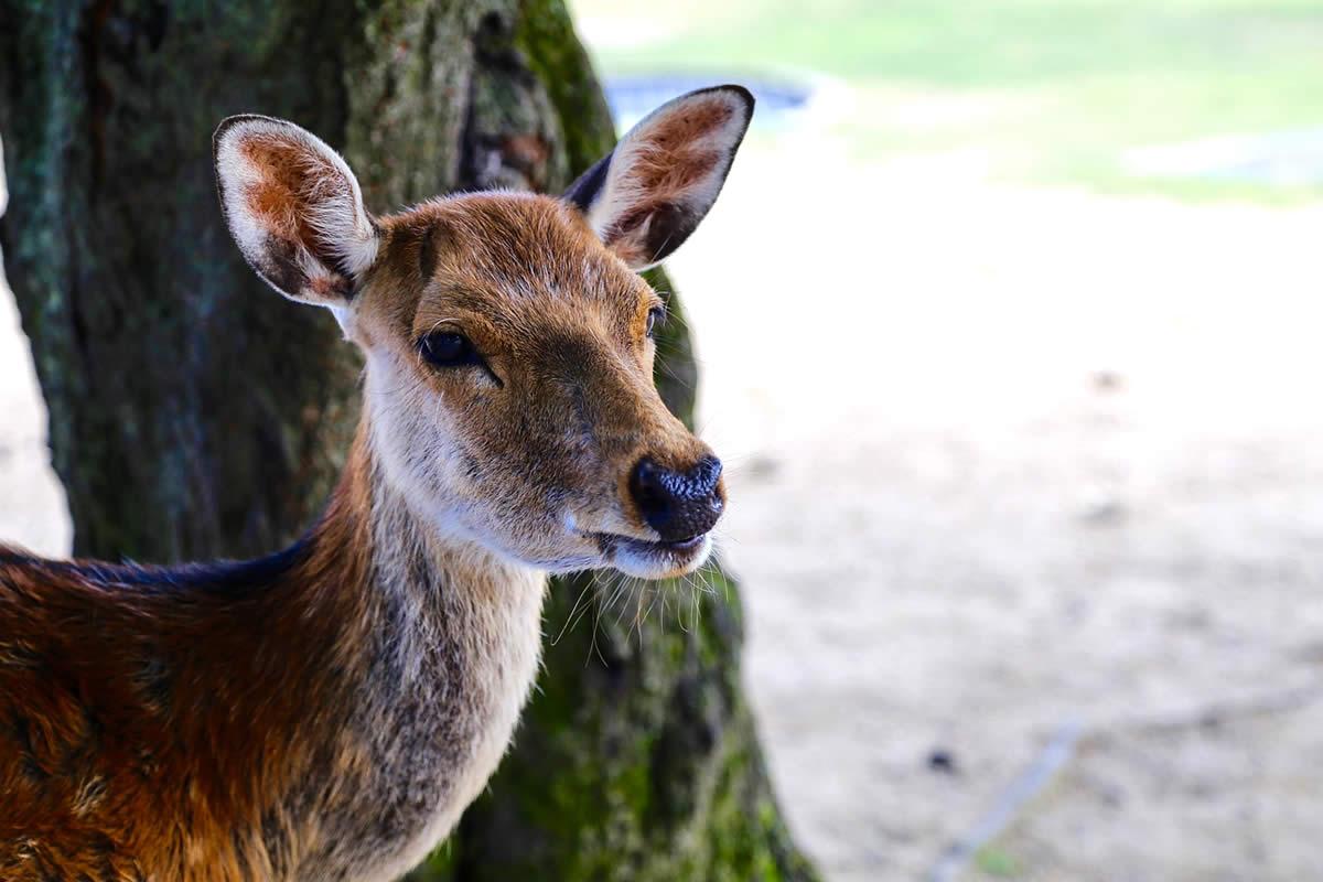 2096_1_deer