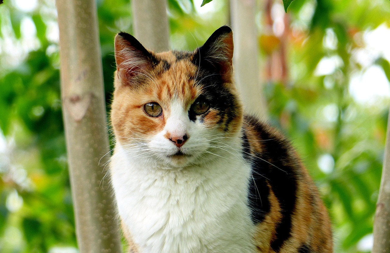 calico-cat-facts-f