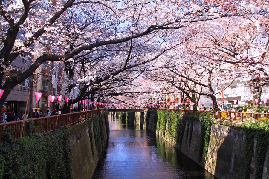 cherry-blossom-nakameguro-tokyo
