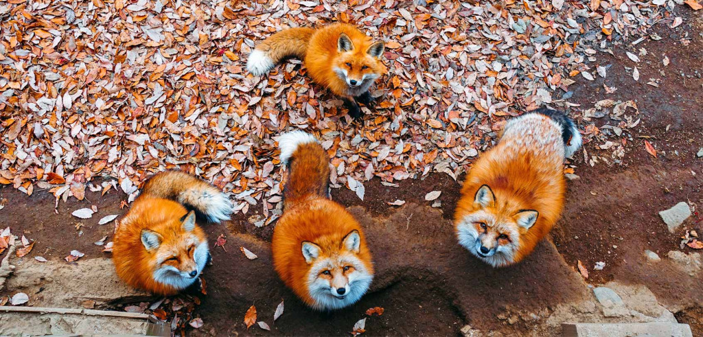 miyagi-zao-fox-village-japan-cute-fluffy-how-to-travel-guide-kitsune-mura-shiroishi