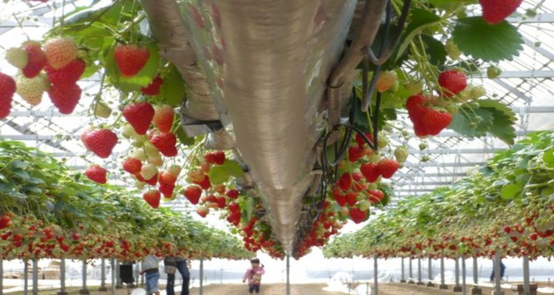 Noumaru Engei Kibiji Noen FarmOkayama- strawberries